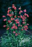 PENSTEMON x mexicale  'Sunburst Ruby' Portion(s)