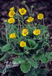 POTENTILLA atrosanguinea var. argyrophylla  'Golden Starlit'