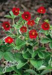 POTENTILLA atrosanguinea var. argyrophylla  'Scarlet Starlit'