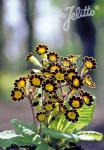 PRIMULA Elatior-Hybr.  'Gold Lace' Portion(en)