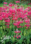 PRIMULA beesiana   Seeds