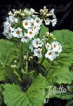 PRIMULA japonica  'Alba' Seeds