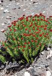 RHODIOLA integrifolia ssp. atropurpurea   Portion(s)