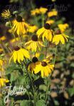 RUDBECKIA grandiflora  'Sundance'