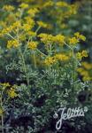 RUTA graveolens f. variegata   Portion(s)