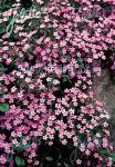 SAPONARIA ocymoides   Portion(en)