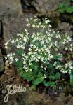 SAXIFRAGA cochlearis   Portion(s)