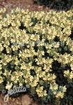 SCUTELLARIA alpina  'Moonbeam' Portion(s)