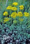 SEDUM forsterianum ssp. elegans  'Silver Stone'