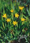 SISYRINCHIUM californicum   Portion(s)