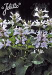 STACHYS macrantha  'Morning Blush'