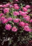 SCABIOSA columbaria f. nana  'Pincushion Pink'