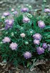 SCABIOSA columbaria f. nana