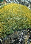 SCLERANTHUS biflorus ssp. uniflorus   Portion(s)
