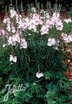 SIDALCEA Malviflora-Hybr.  'Rosaly' Korn