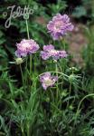 SCABIOSA caucasica  'Perfecta' Portion(s)
