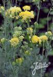 THALICTRUM flavum ssp. glaucum   Portion(en)