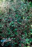 TIARELLA polyphylla  'Filigran'