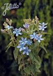 TWEEDIA caerulea   Portion(s)