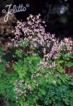 THALICTRUM rochebrunianum var. grandisepalum   Korn