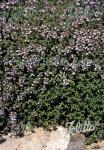 THYMUS vulgaris  'Standard Winter' Portion(en)