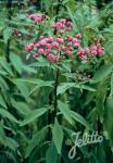 VERNONIA noveboracensis   Seeds