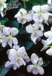VIOLA sororia  'Freckles' Seeds