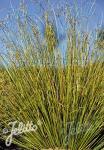 CAREX buchananii f. viridis  'Green Twist'