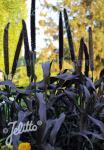PENNISETUM glaucum  'Purple Baron' Portion(s)