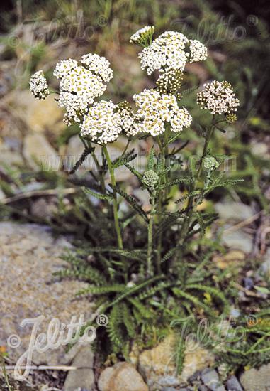 ACHILLEA millefolium  Wildform Portion(en)