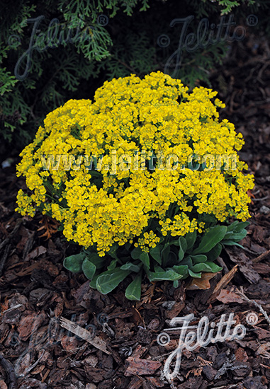 ALYSSUM saxatile  'Gold Kobold' Portion(s)