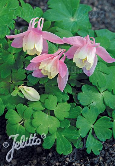 AQUILEGIA flabellata Cameo-Series 'Cameo Pink-White' Portion(s)