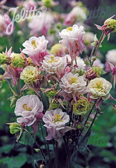 AQUILEGIA vulgaris Winky-Series 'Winky Double Rose-White' Portion(s)