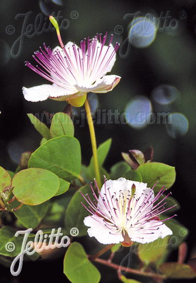 CAPPARIS spinosa var. inermis   Portion(s)