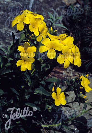 LINUM hybridum  'Gemmel's Strain' Portion(s)