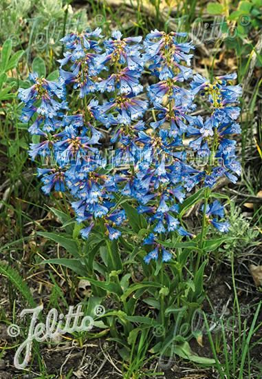 PENSTEMON watsonii   Seeds