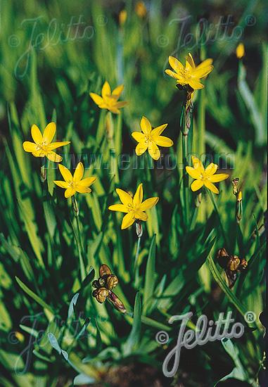 SISYRINCHIUM californicum   Seeds