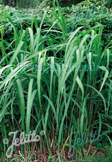 MISCANTHUS sinensis   Portion(s)