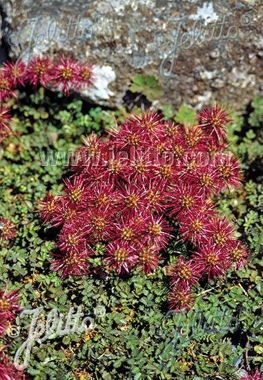 ACAENA microphylla   Portion(en)