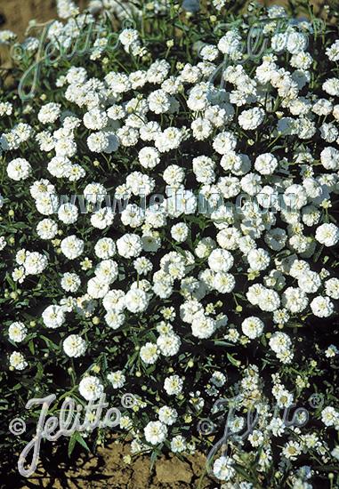 ACHILLEA ptarmica  'Pearl-Group' Portion(s)