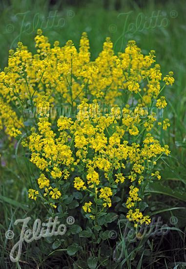 BARBAREA vulgaris   Portion(s)