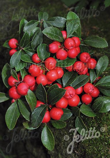 GAULTHERIA procumbens  'Redwood'(TM) Portion(en)