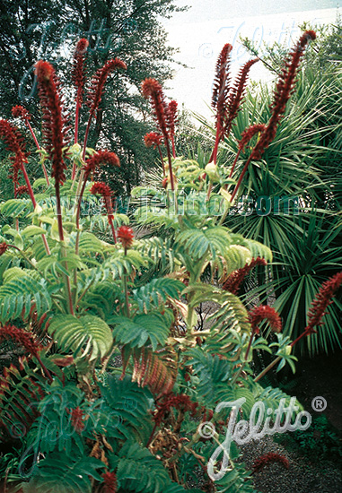 MELIANTHUS major   Portion(s)