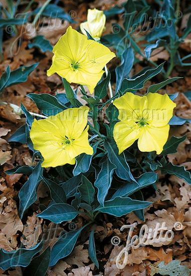 OENOTHERA macrocarpa ssp. incana  Silver Blade® Korn